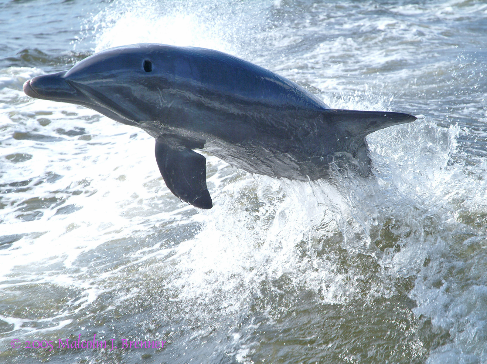 dolphinleapMED