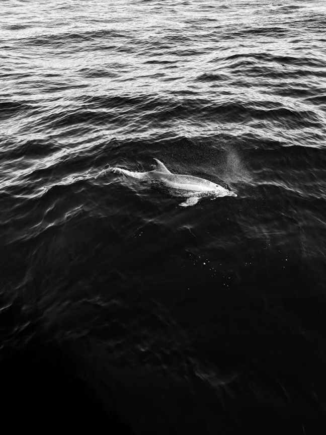 greyscale dolphin