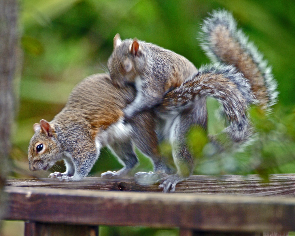 This real photograph of a bizarre sex ritual observed by squirrels in their native habit may have been behind the near fatal man-dog-squirrel encounter. Film at 11.